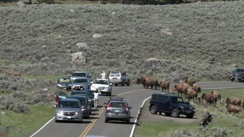 stockvideo's en b-roll-footage met bison herd walking in long string, causing traffic jam, spring in yellowstone national park, wyoming - wyoming