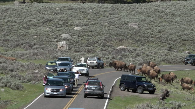 vídeos y material grabado en eventos de stock de bison herd walking in long string, causing traffic jam, spring in yellowstone national park, wyoming - wyoming