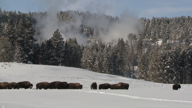 WS Bison herd walking through snowy landscape / Yellowstone National Park, Wyoming