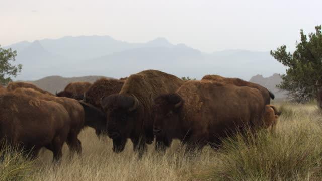 bison herd walking - アメリカバイソン点の映像素材/bロール