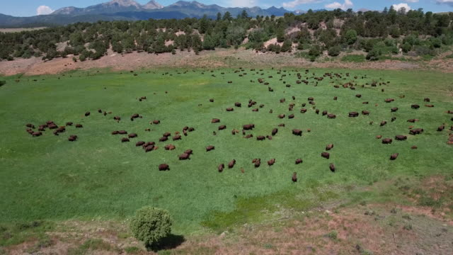 drone bison high orbit rocky mountains plain buffalo - 4k drone tracking aerial view wildlife herd hunting, deer, elk, bison, hawk, buck, cows, bird, buffalo, directors choice, editors choice, magic hour, sun flare, grassland, epic - bird hunting stock videos & royalty-free footage