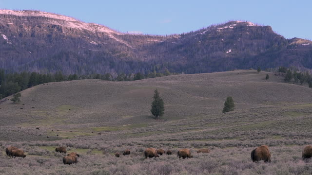 bison in big landscape, yellowstone national park, wyoming - セージブラッシュ点の映像素材/bロール