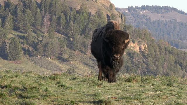 bison in meadow, walking to camera, spring in yellowstone national park, wyoming - wyoming stock videos & royalty-free footage