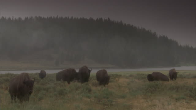 bison (bison bison) in rain on prairie, yellowstone, usa - meadow stock videos & royalty-free footage