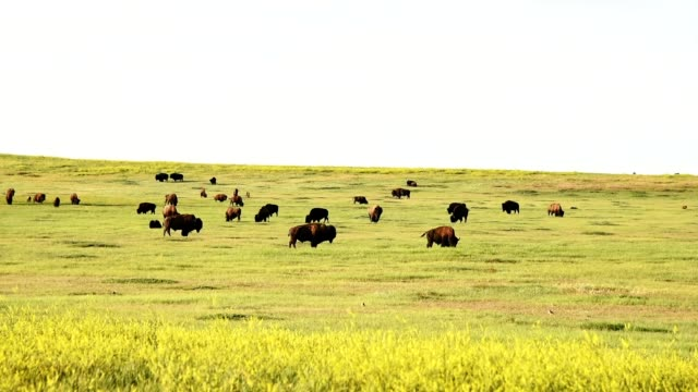 bison in south dakota - badlands national park stock videos & royalty-free footage