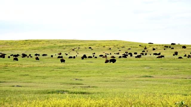 vidéos et rushes de bison dans le dakota du sud - dakota du sud