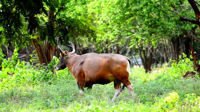 Bison in thailand