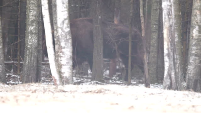 bison in the forest - american bison stock videos & royalty-free footage
