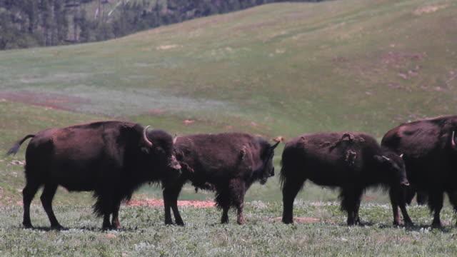 CU of bison in Wind Cave National Park