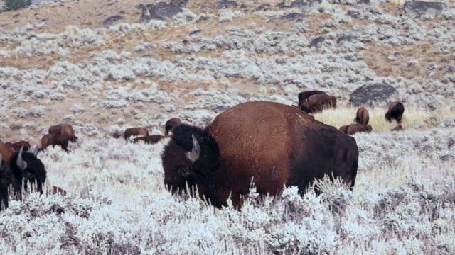 bison in yellowstone national park - セージブラッシュ点の映像素材/bロール