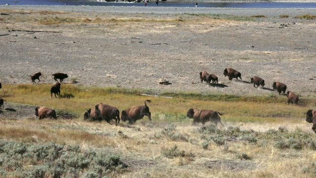 bison in yellowstone national park - american bison stock videos & royalty-free footage