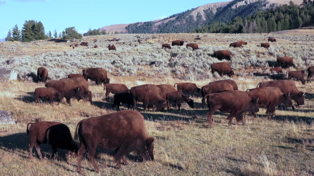 bison in yellowstone national park - bisonte americano video stock e b–roll