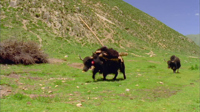bison laden with goods walks on mountainside available in hd. - アメリカバイソン点の映像素材/bロール