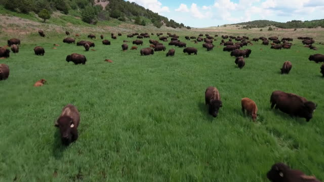 bison low fly over running rocky mountain grasslands aerial, 4k, 41s, 15of16, stock video sale - drone discoveries llc drone aerial view - 野牛点の映像素材/bロール