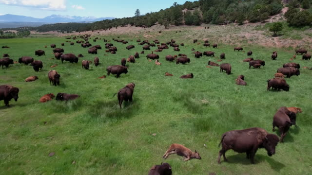 bison low flyover reveal rocky mountain grasslands aerial, 4k, 50s, 16of16, stock video sale - drone discoveries llc drone aerial view - american bison stock videos & royalty-free footage