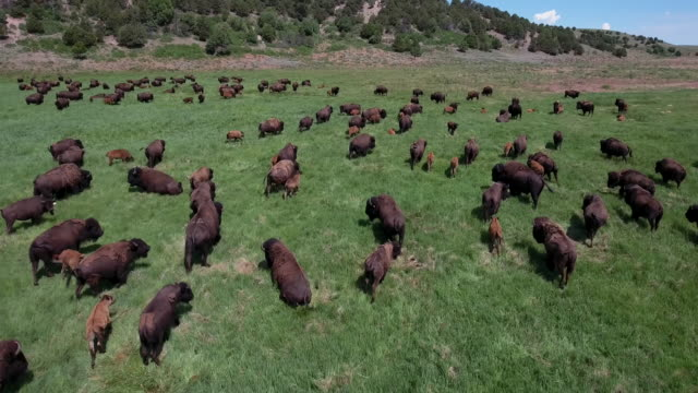 drone bison low over herd also known as buffalo - 4k drone tracking aerial view wildlife herd hunting, deer, elk, bison, hawk, buck, cows, bird, buffalo, directors choice, editors choice, magic hour, sun flare, grassland, epic - bird hunting stock videos & royalty-free footage