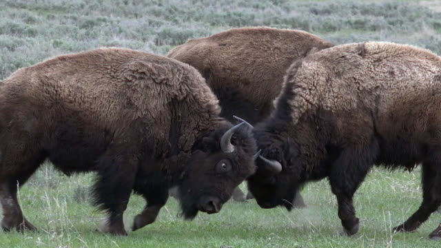 bison males fighting, spring in yellowstone national park, wyoming - cattle点の映像素材/bロール