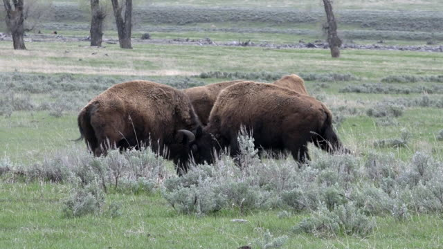 Bison males fighting, Spring in Yellowstone National Park, Wyoming