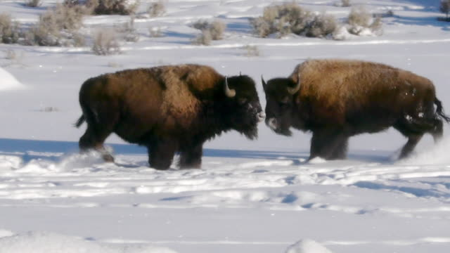 Bison mock fight, Yellowstone National Park, Wyoming, in winter