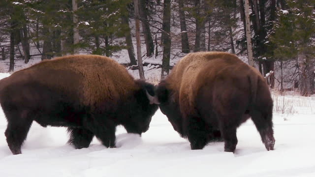 Bison mock fighting, Yellowstone National Park, Wyoming, in winter