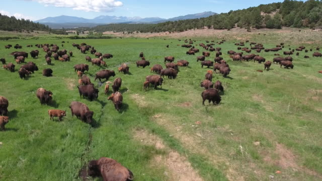 vídeos de stock e filmes b-roll de bison orbit rise - 4k drone tracking aerial view wildlife herd hunting, deer, elk, bison, hawk, buck, cows, bird, buffalo, directors choice, editors choice, magic hour, sun flare, grassland, epic - bisonte americano