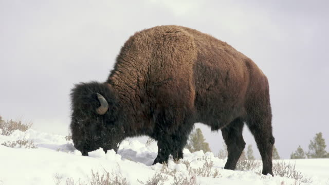 bison pushing snow with head, grazing, yellowstone national park, in winter - american bison stock videos & royalty-free footage
