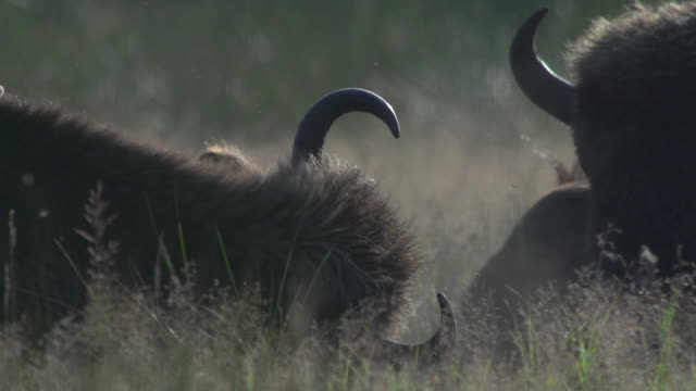 bison relaxing - horned stock videos & royalty-free footage
