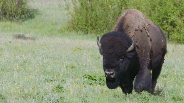 bison roaming in yellowstone national park. - 美洲野牛 個影片檔及 b 捲影像