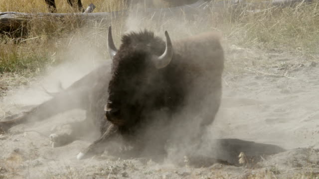 ms bison rolling in soil / yellowstone national park, wyoming, united states - wyoming stock videos & royalty-free footage