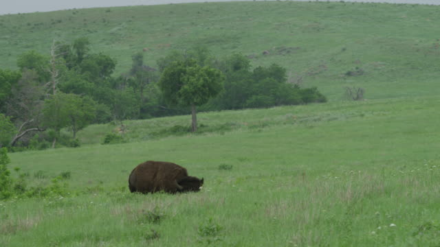 ws pan bison rolling on landscape area / wichita mountains wildlife refuge, oklahoma, united states - wide shot stock videos & royalty-free footage