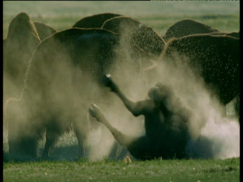 vídeos de stock e filmes b-roll de bison rolls in dust as swarm of flies hovers nearby, south dakota - cilindro veículo terrestre comercial