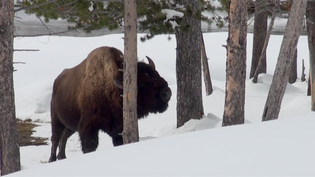 bison rubbing on tree trunk, yellowstone national park, wyoming, in winter - rubbing stock videos & royalty-free footage