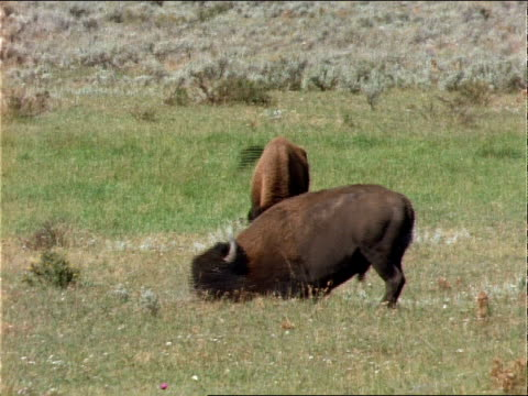 a bison rubs its head in the grass on the plains. - rubbing stock videos & royalty-free footage