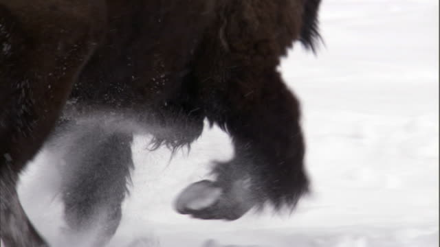 bison (bison bison) run and rut in deep snow, yellowstone, usa - american bison stock videos & royalty-free footage