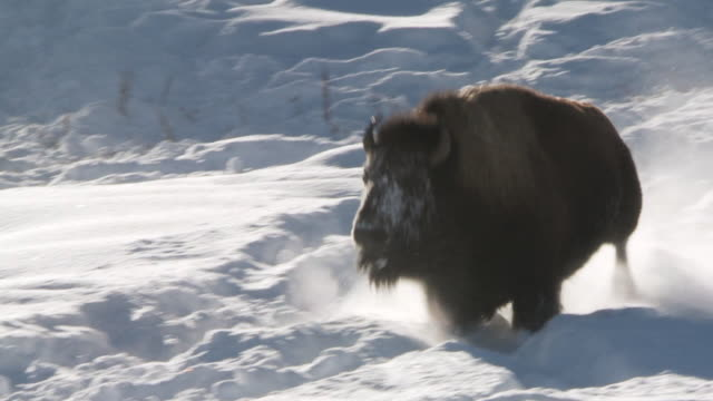 ms ts bison running and walking in snow / yellowstone national park, wyoming, united states - american bison stock videos & royalty-free footage