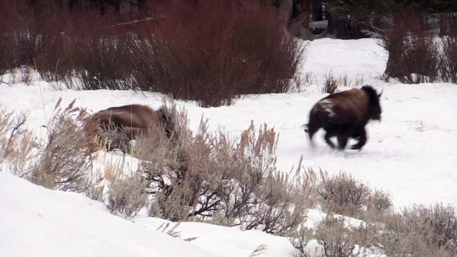 bison running by, yellowstone national park, wyoming, in winter - american bison stock videos & royalty-free footage
