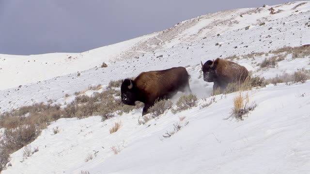 vídeos de stock e filmes b-roll de bison, running down hill, two, yellowstone national park, wyoming, in winter - bisonte americano