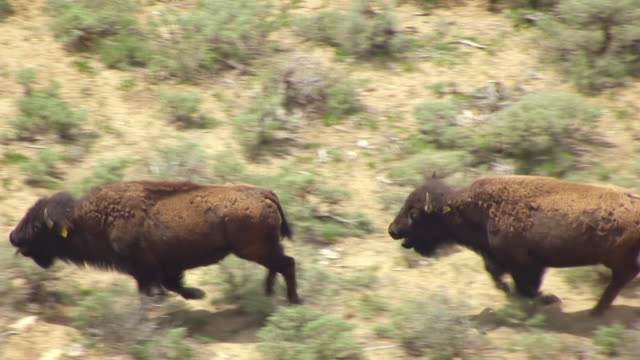 cu aerial ts bison running in colorado plateau en route from desolation canyon to buffalo / utah, united states - colorado plateau stock videos & royalty-free footage