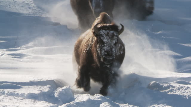 ms ts bison running in deep snow towards camera / yellowstone national park, wyoming, united states  - american bison stock videos & royalty-free footage