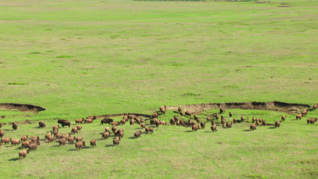 ws aerial zi bison running in prairie over ditch in ground at tallgrass prairie preserve / oklahoma, united states - american bison stock videos & royalty-free footage