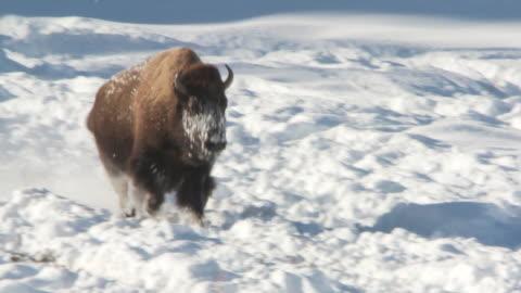 ms ts bison running in snow / yellowstone national park, wyoming, united states - 美洲野牛 個影片檔及 b 捲影像