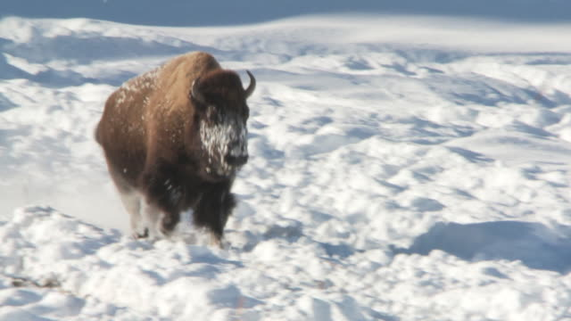 vídeos de stock e filmes b-roll de ms ts bison running in snow / yellowstone national park, wyoming, united states - bisonte americano