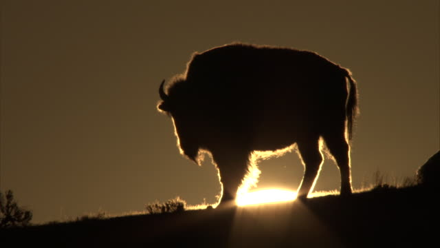 Bison (Bison bison) sihouetted against setting sun, Yellowstone, USA