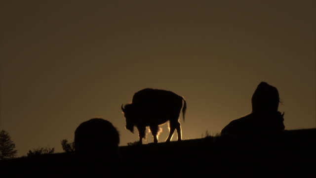 bison (bison bison) sihouetted against setting sun, yellowstone, usa - american bison stock videos & royalty-free footage