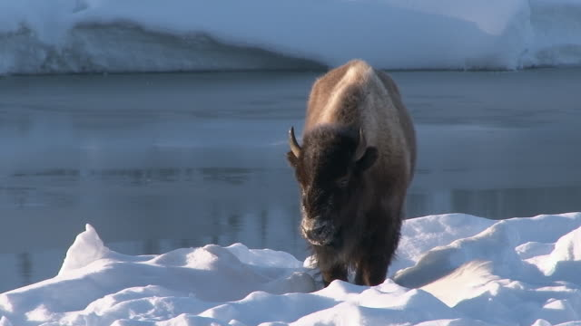 Bison standing alongside Madison River, Yellowstone National Park, Wyoming, in winter