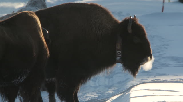 MS Bison standing on roadon in snowy landscape / Yellowstone National Park, Wyoming