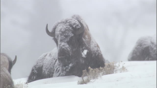bison (bison bison) stands and shakes snow from fur, yellowstone, wyoming, usa - american bison stock videos & royalty-free footage
