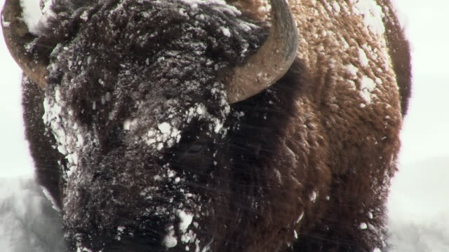 vídeos de stock e filmes b-roll de bison stands facing forward with snowy face, close up, yellowstone national park, wyoming, in winter - bisonte americano
