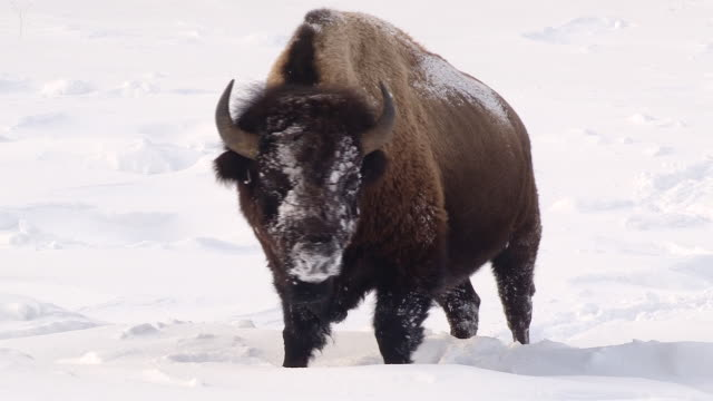 vídeos de stock e filmes b-roll de bison stands facing forward with snowy face, full body shot, yellowstone national park, wyoming, in winter - bisonte americano