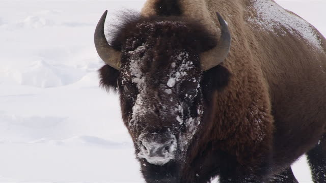 Bison stands facing forward with snowy face, medium shot, Yellowstone National Park, Wyoming, in winter